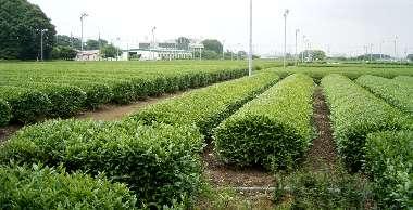茶畑(茶業特産研究所)