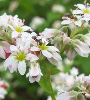 そばの花にアリ