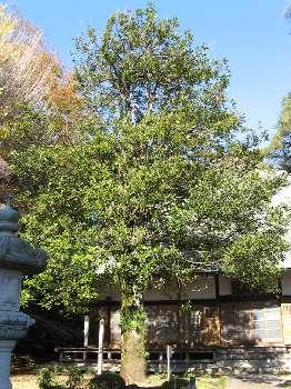 貝多羅葉樹