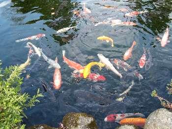 池の鯉(清岩院)
