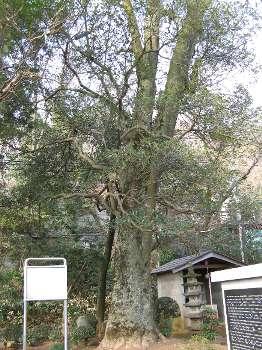モッコク(慈勝寺) 2
