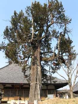 コウヤマキ 2(花蔵院)
