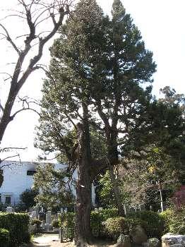 コウヤマキ(地蔵院)