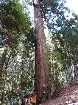 スギ(小丹波熊野神社)