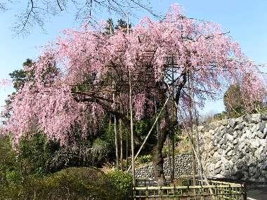 ベニシダレ(宗泉寺)
