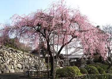 ベニシダレB(宗泉寺)