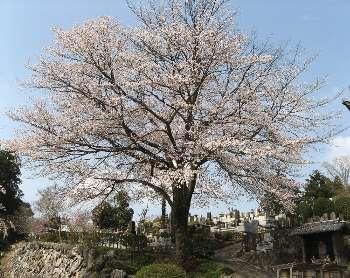 ヤマザクラ(宗泉寺)