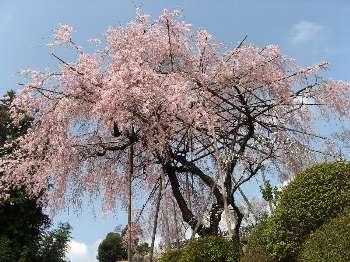 ベニシダレA(宗泉寺)