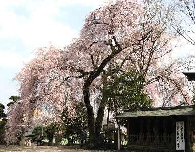 シダレザクラ 1(梅岩寺)