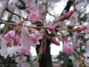 シダレザクラ1a(梅岩寺)