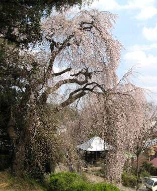 シダレザクラ 2(梅岩寺)