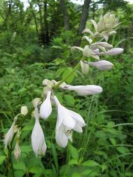 オオバギボウシの画像 p1_36