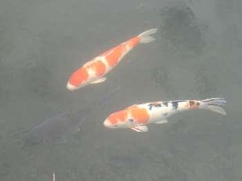 鯉 (霞川)