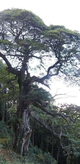 滝の入タブの木