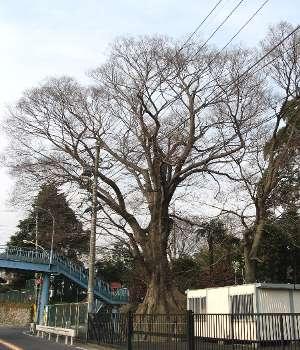 羽村橋のケヤキ 1