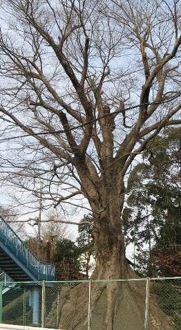 羽村橋のケヤキ 2