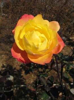 アンネのバラ 1