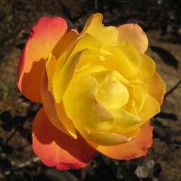 アンネのバラ 2A