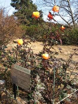 アンネのバラ 3