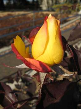 アンネのバラ 2