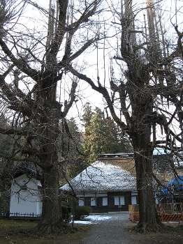 イチョウ (広徳寺)
