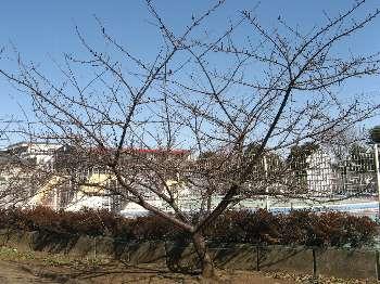 河津桜 1(わかぐさ公園)