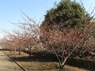 河津桜 イ(わかぐさ公園)