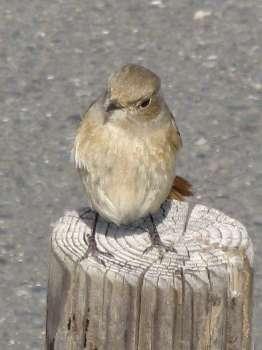 野鳥 1(羽村市)