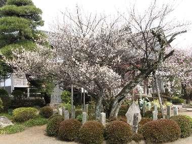 金剛寺の青梅 1