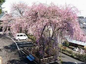 ベニシダレ 2(宗泉寺)