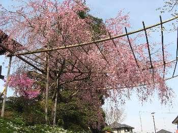 シダレザクラ 1(宗泉寺)