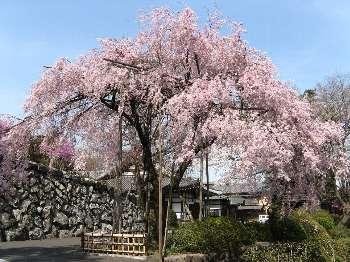 ベニシダレ (宗泉寺)