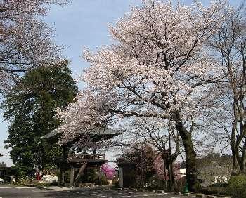 ソメイヨシノ (宗泉寺)