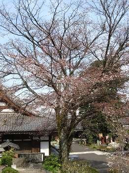 ヤマザクラ (宗泉寺)