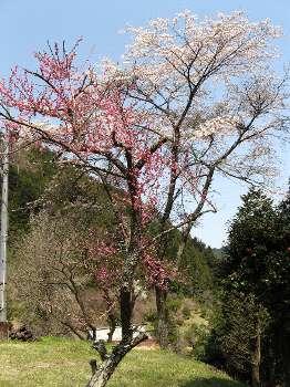 梅と桜 (延命寺)