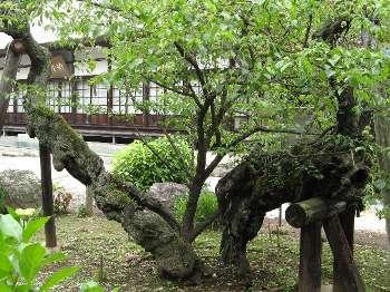 宝珠梅 2(地蔵院)