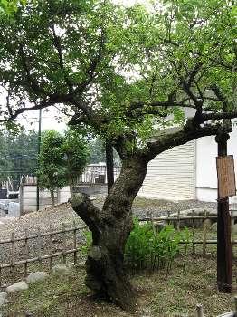 親木の梅 (大聖院)