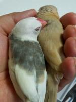 仲良く熟睡する文鳥カイロ