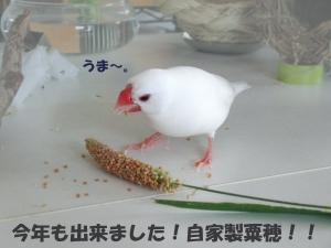 まめさん粟穂に食らいつく