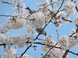 桜と雀…の尻