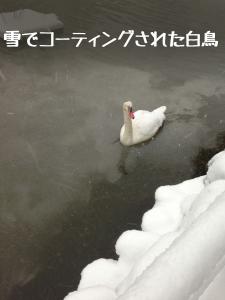 白鳥も雪まみれ…
