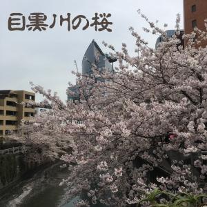 目黒川の桜2017