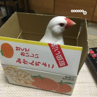 箱の似合う文鳥…。