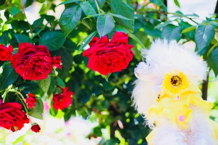 まつおえんげいのバラ