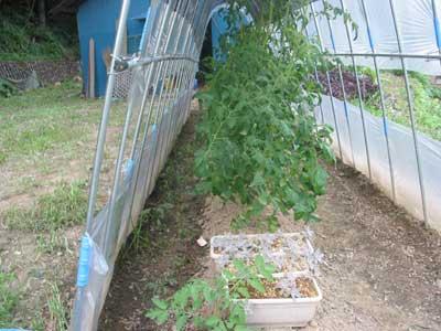 草は枯れ初めていますが、トマトに変化はありません。