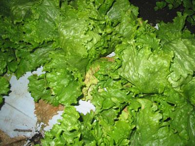 冬季栽培レタスの病害対策効果を確認