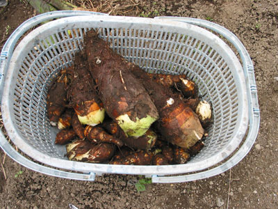 京イモの収穫