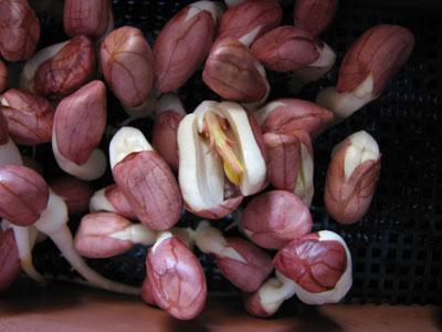 ピーナッツ種子の中から子葉がでています