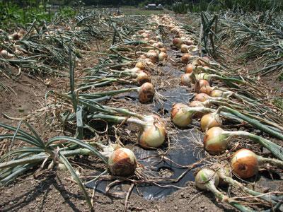 特別ミネラル栽培の会の会員が使用している資材を使用して栽培した玉葱の収穫