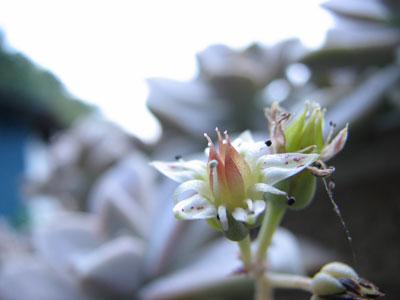 食用多肉植物の花